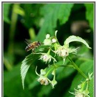 Пчелка :: Виктор Новоженин