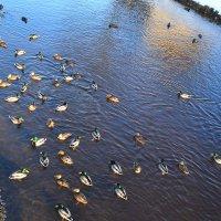 Утки на реке. :: zoja