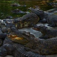Крокодиловая ферма 5 :: Сергей Андриянов