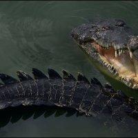 Крокодиловая ферма 3 :: Сергей Андриянов