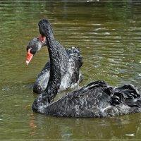 Чёрные лебеди :: Андрей Медведев