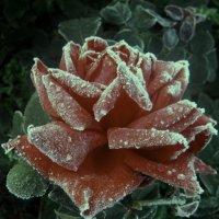 застывшая роза :: Лариса Корсакова