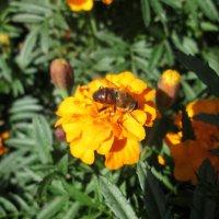 пчела за работой :: юрий мотырев