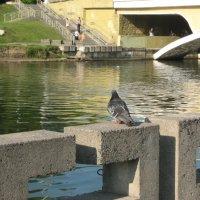 голубь :: Наталья Савич