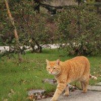 Рыжий кот :: Elena Balatskaya