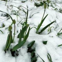 тюльпаны в снегу :: Вера Азсоль