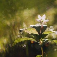 волшебный цветок :: Виктория Нарчук