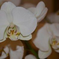 Орхидея :: Алла )