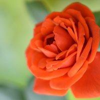 Из жизни цветов... :: Sofia Rakitskaia