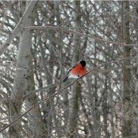 На деревьях снегири - словно отблески зари... :: Natusya _ya