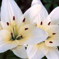 цветы :: Марина Попова