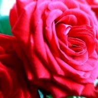 розы :: Марина Попова