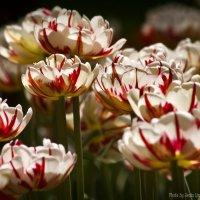 В царстве тюльпанов (4) :: Евгений Лимонтов