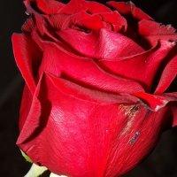 роза :: Наталья Савенко