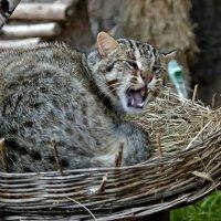 Сибирский камышовый кот :: Владимир Максимов