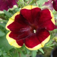 Petunia Porch purple Yellow Circle Sun Pleasure :: laana laadas