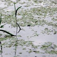 ...  и  даже  в болоте есть своя  жизнь.. своя красота. :: Валерия  Полещикова