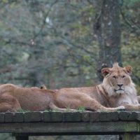 Львиное семейство :: Natalia Harries