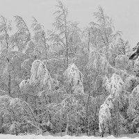 Березы  в  снегу. :: Валера39 Василевский.