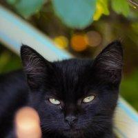 Черный задумчивый кот :: vcherkun