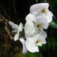 Орхидея :: Владимир Холодницкий