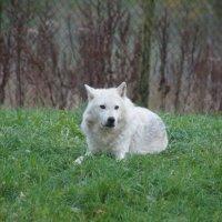 Белый волк :: Natalia Harries