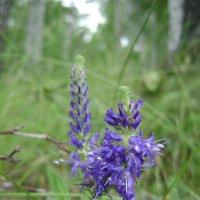 Лесной цветок :: Анатолий