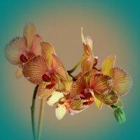 Орхидея :: Владимир Клюев