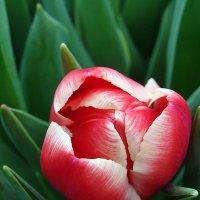 """Тюльпан """" Kung Fu """" :: laana laadas"""