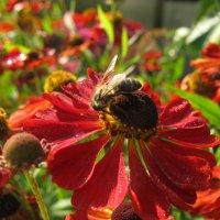 Пчёлка на гелениуме. :: ТАТЬЯНА (tatik)