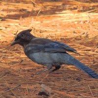 Синяя птица :: Алексей Меринов