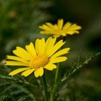 Дикие желтые хризантемы как ромашки :: Александр Деревяшкин
