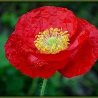 Красный-прекрасный :: Надежда