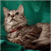 Портрет молодого мейнкуна :: Кай-8 (Ярослав) Забелин