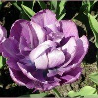 Махровый тюльпан :: Вера