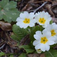 еще одно чудо весны))) :: Zinaida Belaniuk