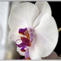 Красота орхидей. :: Любовь Чунарёва