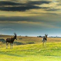 Романтика в диком мире. Антилопы. ЮАР. :: Ирина Краснобрижая