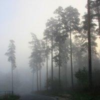 Туманный  рассвет  в  соснах. :: Валерия  Полещикова