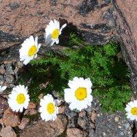 Цветы на камнях Эльбруса :: Vladimir 070549