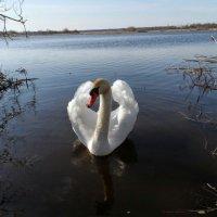 белый лебедь :: Ольга Ткаченко