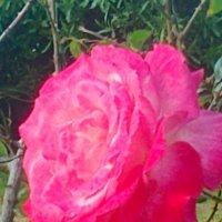 Розовая роза :: Герович Лилия