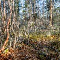 Танцующий лес :: Игорь Чубаров
