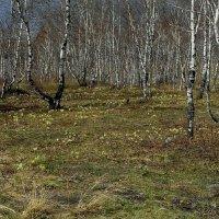 Весна в берёзовой роще. :: nadyasilyuk Вознюк