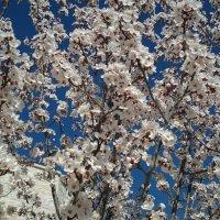 Март.Цветение ,, войлочной вишни,,. :: Жанна Викторовна