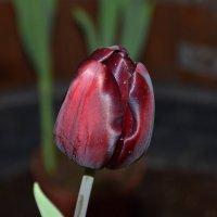 Черный тюльпан. :: vkosin2012 Косинова Валентина