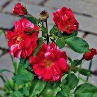 Розы для женщин :: Nikolay Monahov