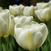 Фестиваль тюльпанов. Сорт Up White :: Елена Павлова (Смолова)
