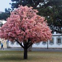 Цветущее дерево в январе :: Иля Григорьева