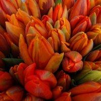 Скромные тюльпаны. :: Антонина Гугаева